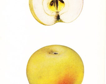 1905 Fruit Print - Jacob Sweet Apple - Vintage Home Kitchen Food Decor Plate Plant Art Illustration Great for Framing 100 Years Old