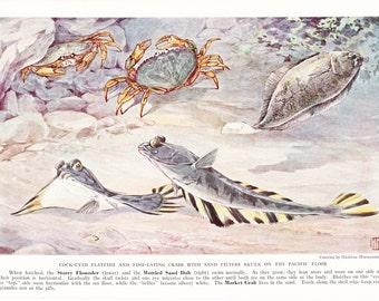 1937 Fish Print - Starry Flounder Market Crab - Vintage Antique Nature Science Animal Art Illustration Cabin Cottage Home Decor for Framing