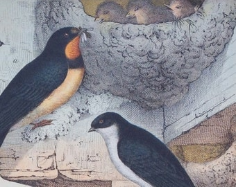 Antique Print of Titmice and Swallows - 1889 Large Chromolithograph