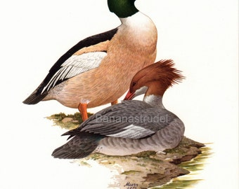 1962 German Vintage Print of the Common Merganser