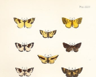 Antique Moth Print Plate XXXIII .  elm moth, fern moth, large twin spot . original woodblock plate dated 1896