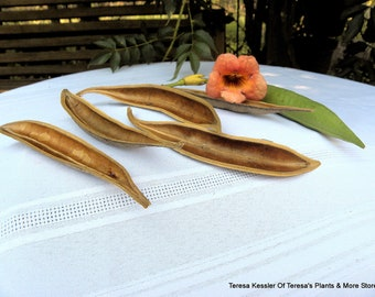 4 Seed Pod halfs-Dried Floral-Make a small canoe with these-Natural seed pods