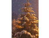 Pine Tree in Snow Photograph Christmas Card