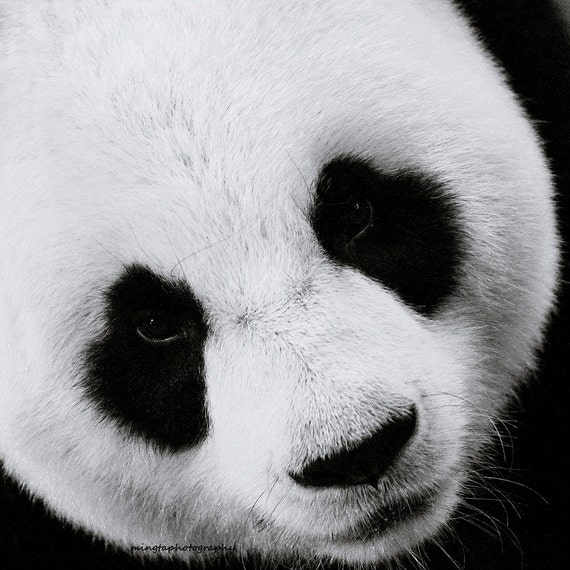 the panda 3 black and white window to the soul of a lovely