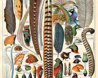 Bird Feather Art - Natural History Print - Woodland Antique Print - Scientific Illustration Vintage Print
