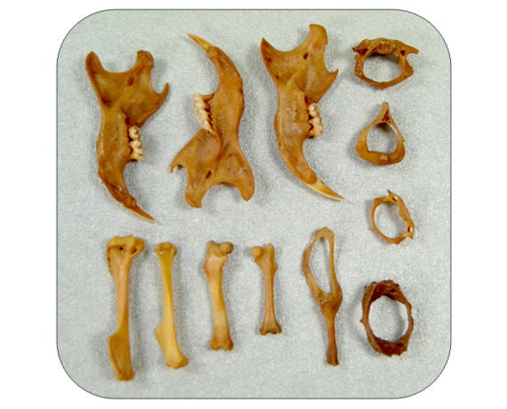 Specimens- Very Very Tiny Real Bones - Rodent  Bones - Qty. 12 - Lot 1253