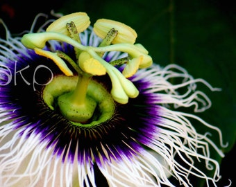 "24"" x 16"" Ready-to-Hang Canvas Passion Flower Print"