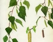 Vintage Tree Print, Silver Birch, Botanical  Book Plate 61, Ornamental, Nature, Landscape, Framing, 1969, Choc