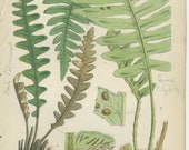 Rare, Scaly Spleenwort, Willdenow, Antique Botanical Fern Print 1, 1851, Natural History, British Ferns, Fitch, Hand Colored