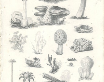 Fungi, Enhanced Reproduction Antique Botanical Engraving, Fine Detail, Botany Plate 17, Library Decor, Scientific Illustration