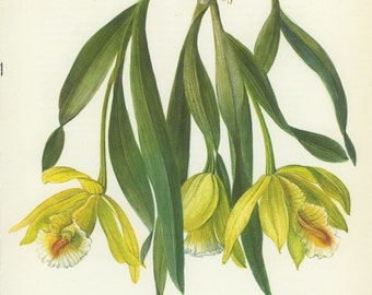 Vintage  Flower Print (53) Tropical Cattleya Citrina, Orchid, Mexixo, Botanical, Natural History, Blossom Art, 1970