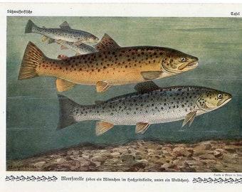 1900 fish sea trout original antique ocean sea life print