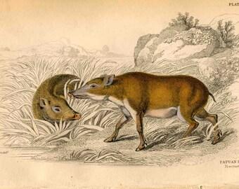 1836 papuan hogs original antique animal engraved print boar pig hog