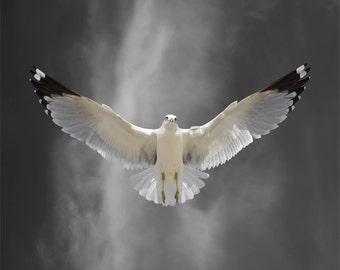 Limited Edition Art Print, Ring-billed Gull Bird, Seagull, Bird Art, Bird Photography, Fine Art Photography, Flight Lesson C