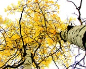 """Aspen trees, aspen forest, Harvest Gold golden yellow leaves foliage, Fall autumn wall Decor 5"""" x 7"""" rustic cabin, lodge photograph"""