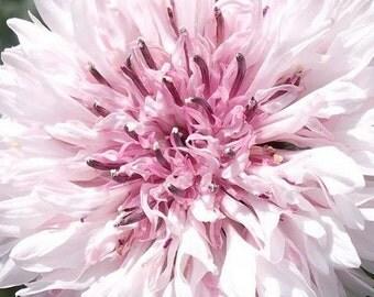 Cornflower, Romantic Cornflower Seeds - Darling Cottage Garden Flower