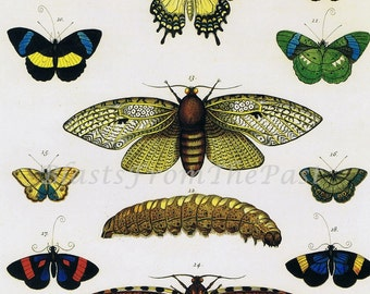 Albertus Seba BUTTERFLY Large Print, 'Tabula 39', Monarch, Catepillar, Warm Colors, Natural History, Perfect for Framing, Zoology, Botany