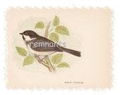 MARSH TITMOUSE 1857 Genuine Anne Pratt Birds Plate Print RARE