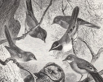 1890 Antique OWL engraving, owl surrounded by birds in the forest, 122 years old gorgeous print
