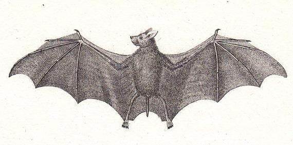 1830  antique BAT  mini print by Buffon, La Cephalote, vampire, 182 years old nice print