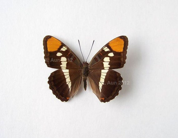 Real Butterfly Specimen Unmounted Ready Spread, California Sister