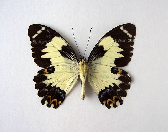 Real Butterfly Specimen Unmounted Ready Spread, Euchenor Swallowtail