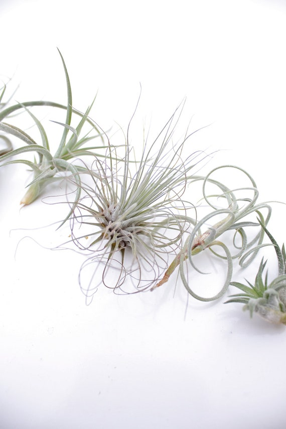 Sale Air Plant Grab Bag 3