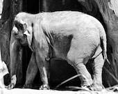 Black and White Elephant, 8x10 print
