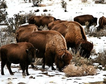 Bison family with baby in the snow FineArt 8x10 photograph