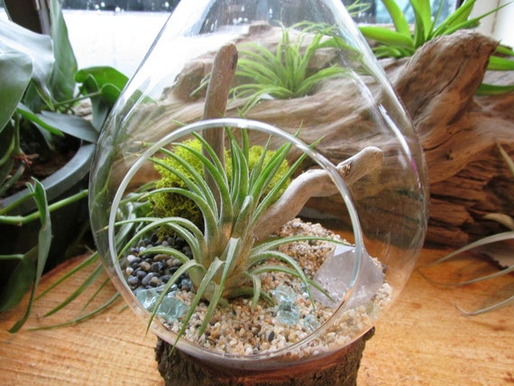 Hanging Air Plant (Tillandsia) Teardrop Terrarium - Amazing Gift