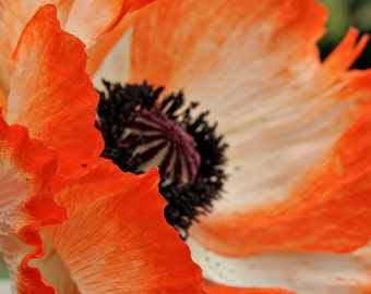 Oriental Poppy, Red, Orange, Detail, Abstract, Macro, black, flower, Nature, Bright, photograph