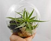 """Hondurensis Hanging Terrarium 6.5"""" // Choose Your Own Moss Colors"""