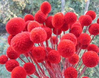 "Craspedia - Billy Balls - Billy Buttons - Fire Red -- set of 12  -- Preserved  -- 8"" long"