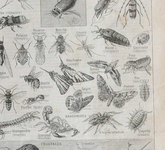 1919 French Insects print