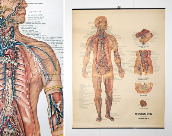 Vintage 1950's Peter Bachin Anatomical Chart  - The Lymphatic System