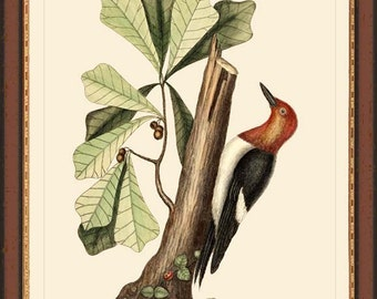REDHEADED WOODPECKER - Catesby 12x16 print reproduction 7001