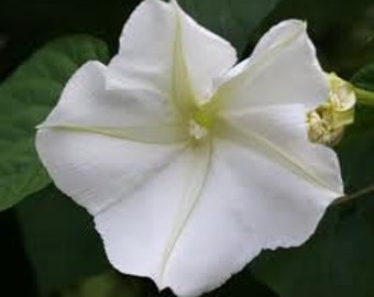 Moonflower Vine Seeds Rare Heirloom Very Fragrant Night Blooming Annual Flowers Ipomoea alba