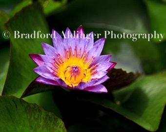 Purple Flower, Common Ground, Kilauea, Kauai, Hawaii -   Photograph