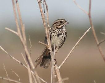 Savannah sparrow: 5 x 7 photograph CHARITY DONATION