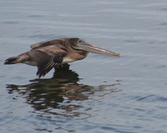 Brown pelican 2: 5 x 7 photograph