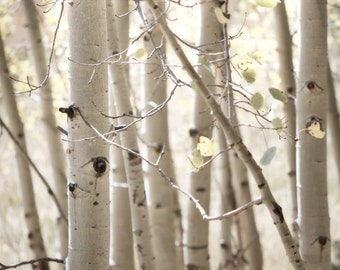 Aspen Trees Prints Set of (2) 11x14 Fine Art Photography Prints New Mexico Woodland Bark Forest Autumn Landscape Photography Prints.