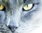 "Grey cat photo portrait Pet photography 8x8"" (20x20m) Grey Yellow By Peraboom"