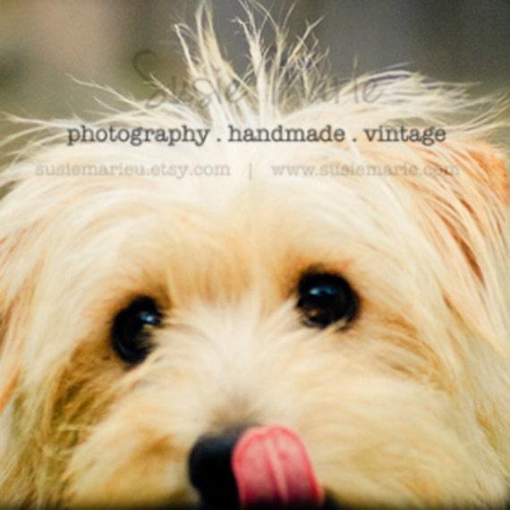 Bella - Scruffy Dog Photograph - Pet Photography, 8x8 print