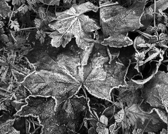 frosty leaves photo - black and white photo frosty leaves - leaves with frost black and white photo - leaves frost photo bnw - bnw photo