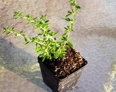 Bahamas berry nashia inaguiensis live plant