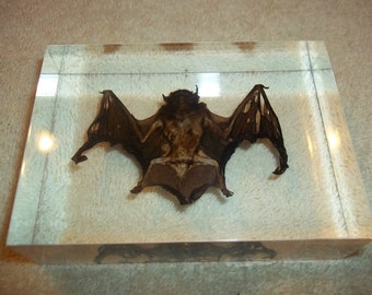 REAL Bat  Otomops Formosus #2 Paperweight animal weird rodent bird taxidermy cave vampire part