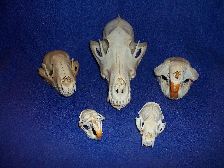 5 real animal bone raccoon coyote beaver muskrat mink skull