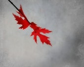 Maple Leaf -Fine Art Phoyography , Red, grey, Home Decor, Wall Decor, 8 x 10 Photography, winter, fall, autumn grey, family,