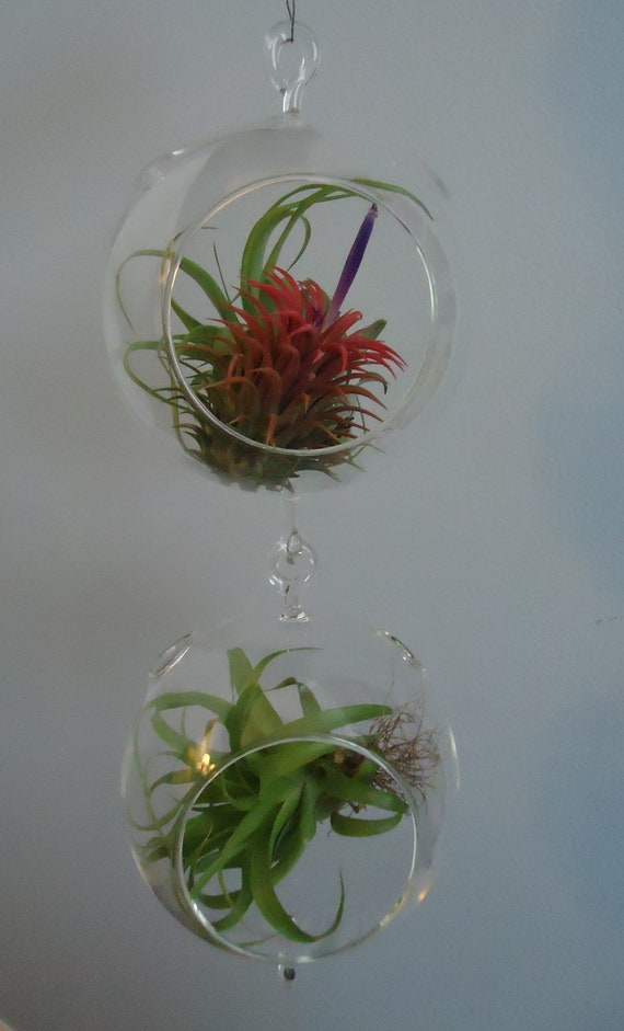 """2 Pack 4.5"""" Round Globe Plant Orb/Terrarium Double Hook  With 4 Air Plants"""