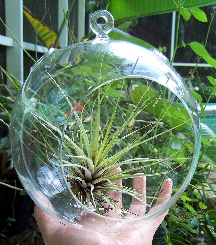 air plant hanging glass terrarium large size diy glass orb. Black Bedroom Furniture Sets. Home Design Ideas